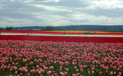 tulip fields and storm clouds